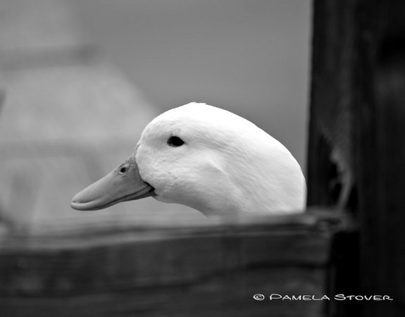 Duck<br /> © Pamela Stover<br /> Exposed Images Photography