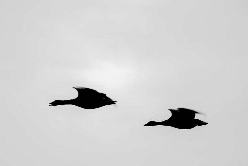 Greylag goose (Grågås)