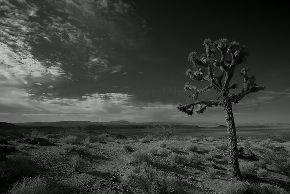 Joshua Tree, view from Rainbow Basin