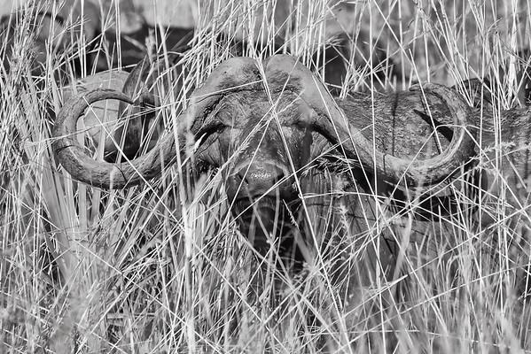Buffalo in grass