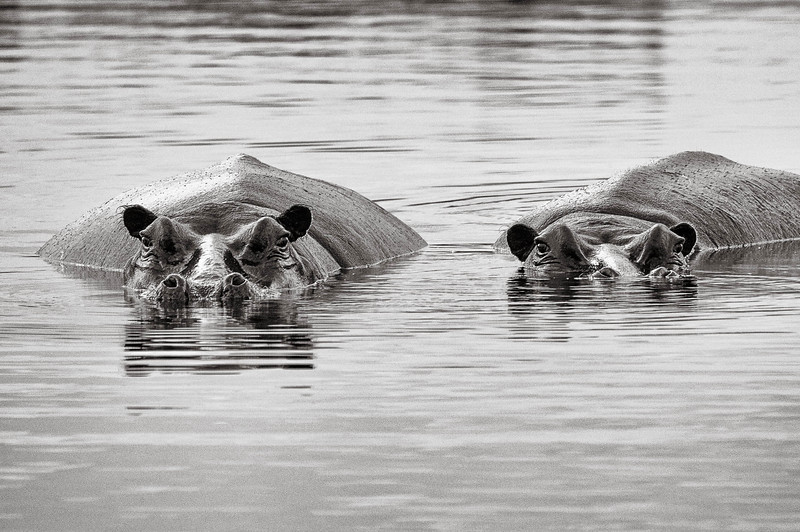 Hippos two