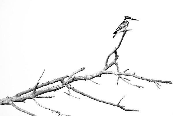 Kingfisher, Botswana