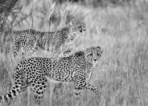 Two Cheetahs