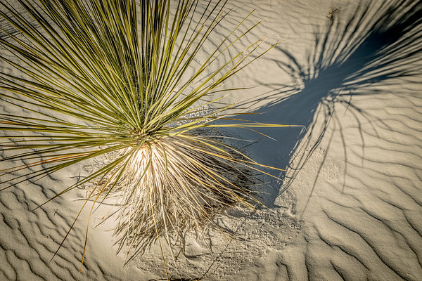 Agave and Shadow, White Sands National Monument