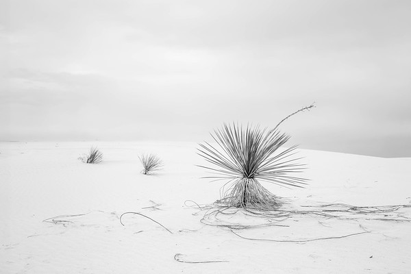 Three Agave, White Sands National Monument