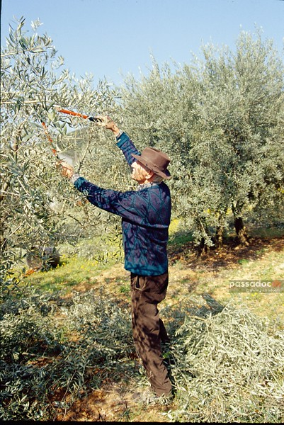 Taille des oliviers en Provence; olive tree pruning in Provence