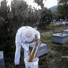 Apiculteur recoltant du pollen; farmer collects the pollen