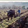 boeuf et bouvier labourent; ox and farmer ploughing