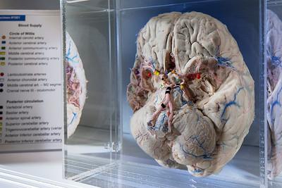 Museum of Neuroanatomy
