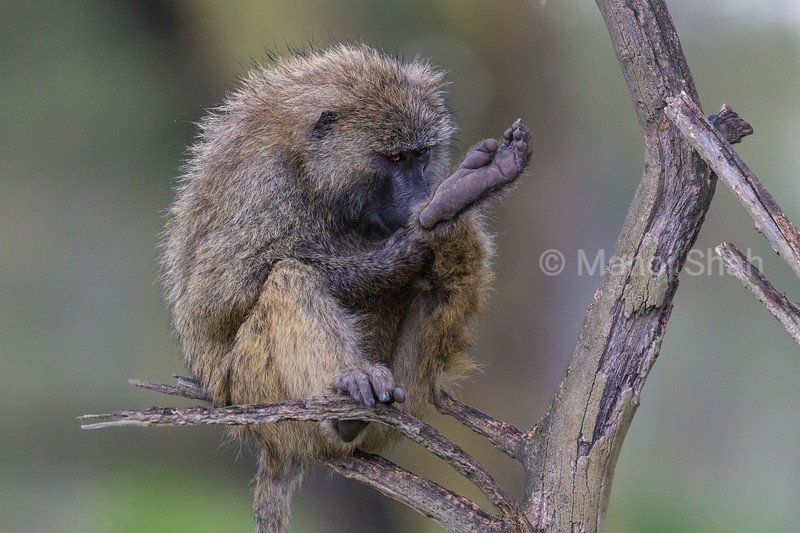 Male Olive baboon grooming his leg seated on a tree.
