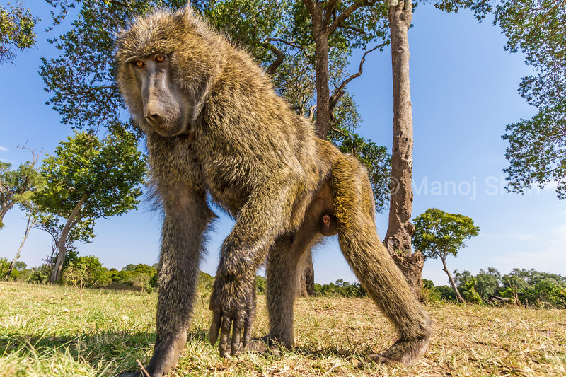 A remote camera fascinates a male baboon.