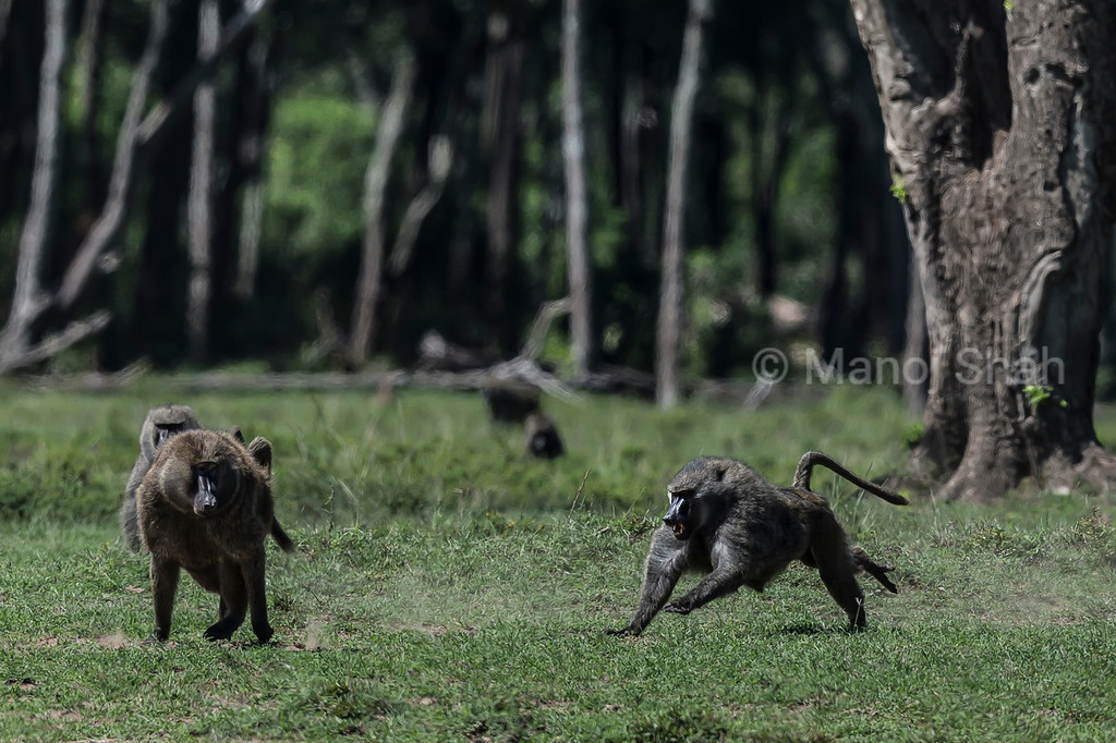 Male baboons
