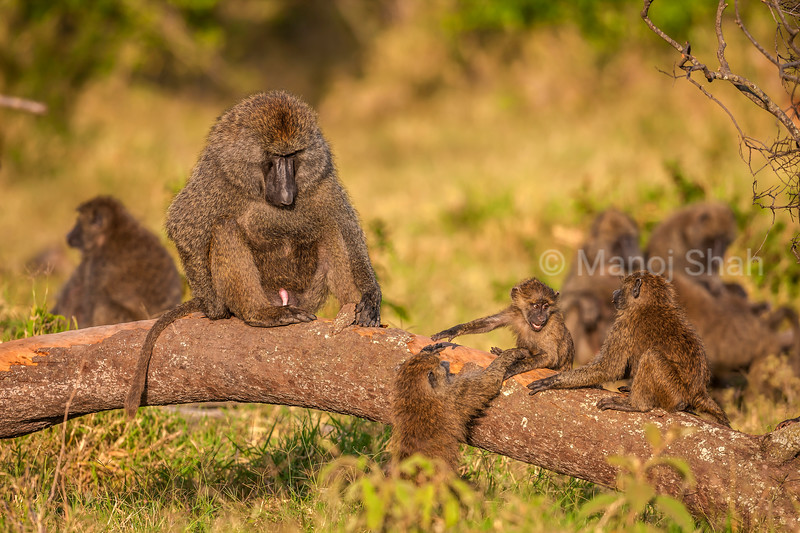 Olive baboons playing on a fallen tree trunk  in Masai Mara..
