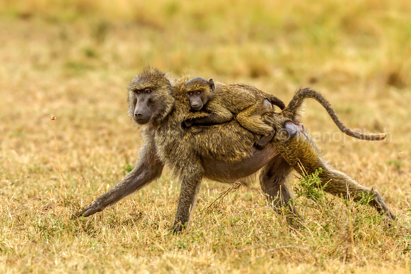 Olive baboon female gives a ride to her baby in Masai Mara.