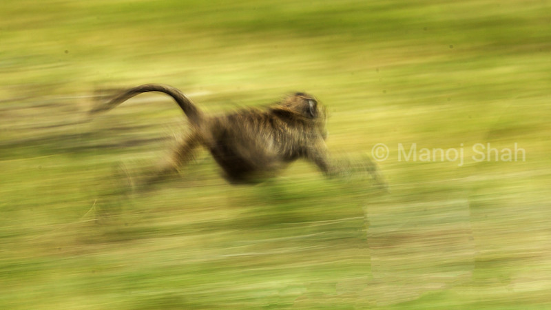 Olive baboon fleeing in Masai Mara savanna.