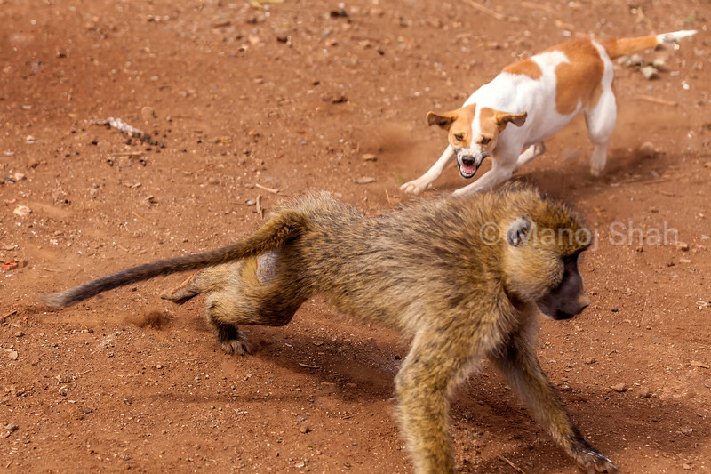 Masai Dog (mixed breed type) attacka a Yellow Baboon intruder to a maasai Manyatta (which is known as a home for the Masa)i inear Amboseli National Park, Kenya