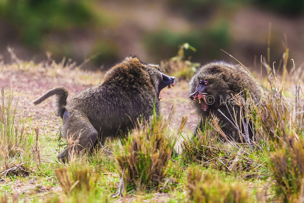 Male baboons fighting