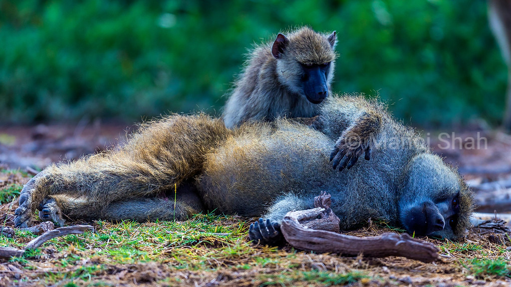 Yellow baboons grooming in Amboseli National Park.