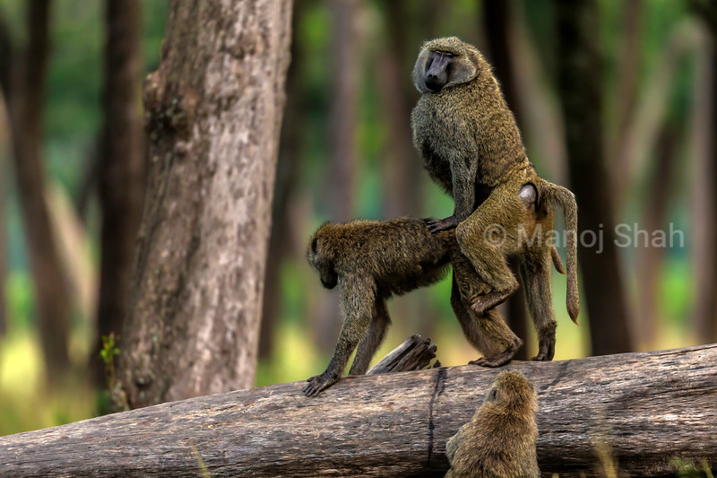 A young Olive baboon keenly watches an Olive baboon couple mating in Masai Mara.