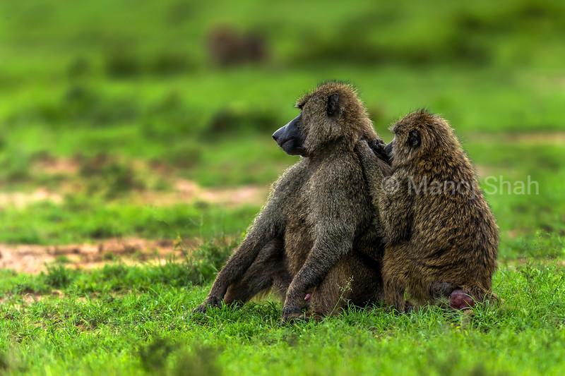 Female Olive baboon grooming male in Masai Mara.