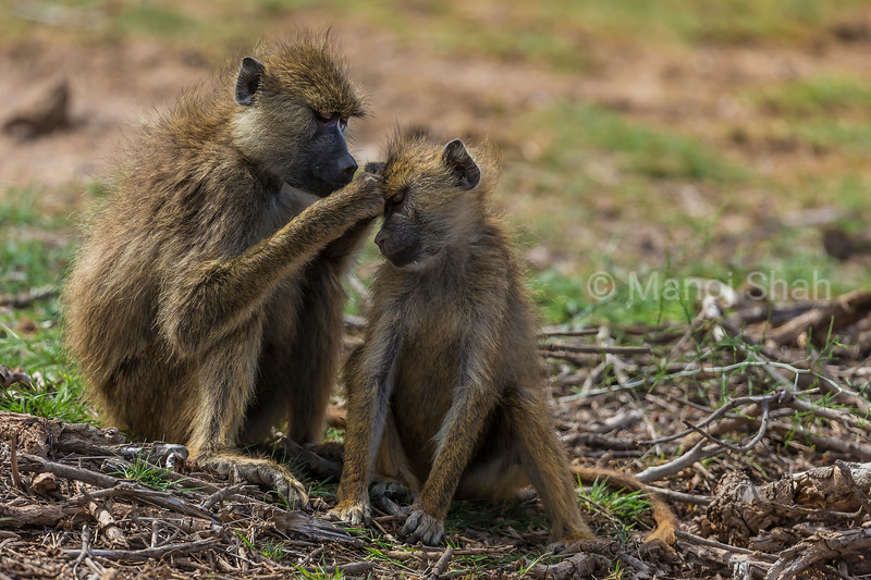 Yellow baboons in a grooming mood in Amboselli National Park, Kenya.