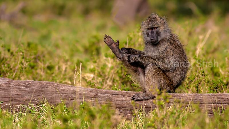 OLive baboon grooms its leg in Masai Mara