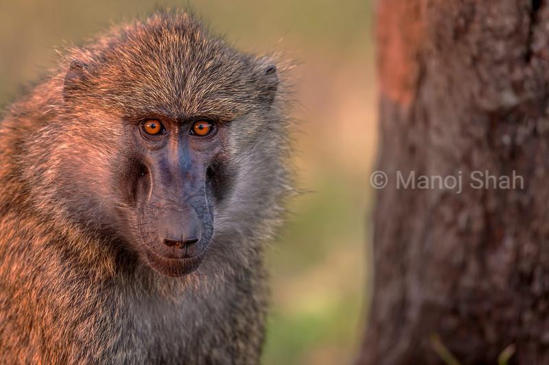 Male baboon under a tree in Masai Mara.