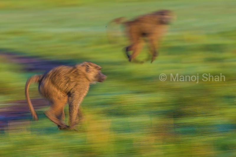 Olive baboons on the run in Masai Mara/