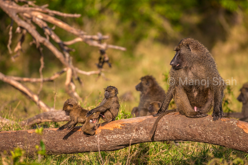 Young Olive baboons trying to copulate on a tree trunk in Masai Mara.