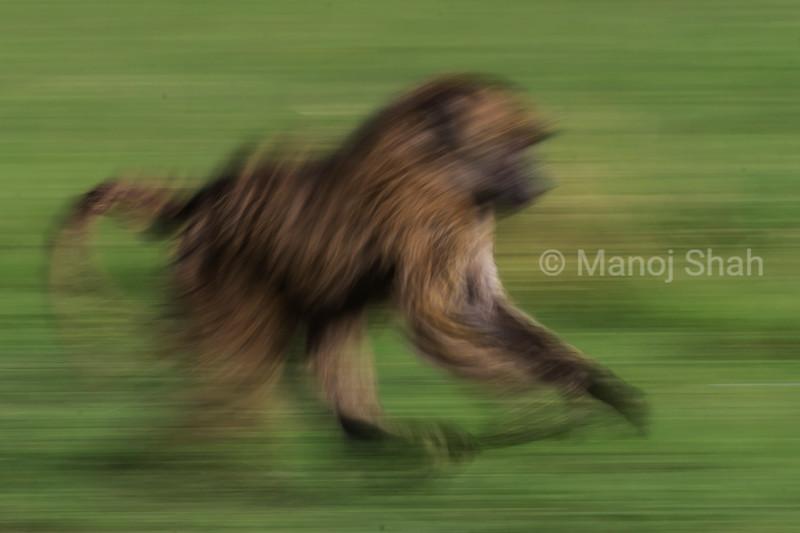 Baboon running across the Mara plains