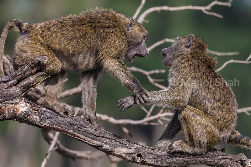 Olive baboons squabbling on a tree.