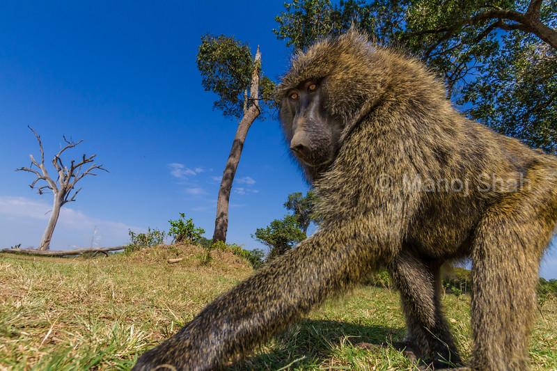 Baboon feeding