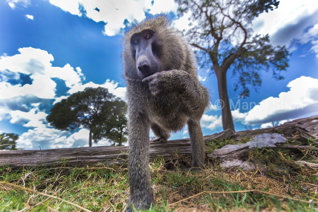 Olive baboon curious about the remote camera.