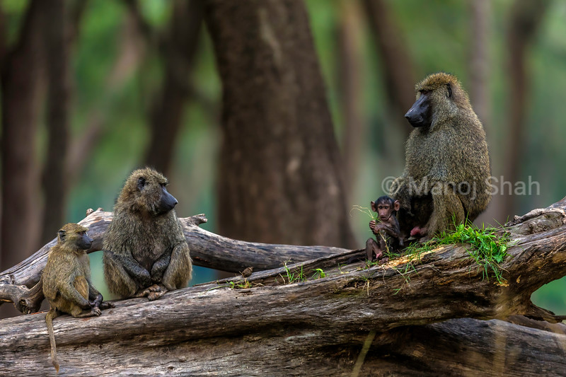 Olive baboons admiring the baby in Masai Mara.