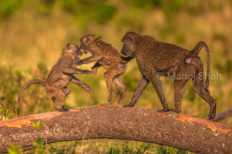 Young olive baboons play fighting with an adult watching on a fallen tree trunk n Masai Mara