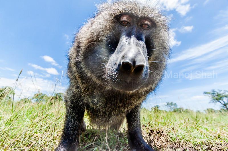 An olive baboon examins a remote camera in Masai Mara.