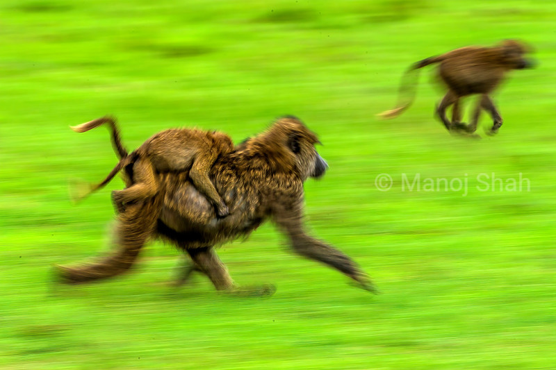 Female Olive baboon with baby running to the forest in Masai Mara.