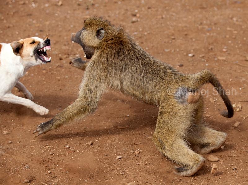 Masai Dog Defends Masai Home (bomas) outside Amboseli National Reserve as a yellow baboon encroaches into the bomas.