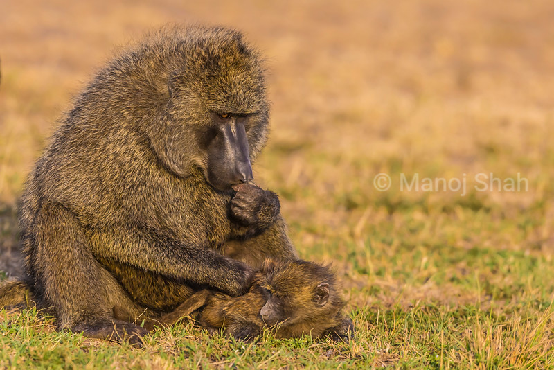 Baby Baboon being groomed by mother