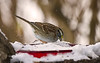WHITE THROATED SPARROW DIGGING FOR SUNFLOWER SEEDS AFTER A SNOW FALL