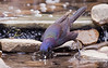 Grackle dipping its food in the water before eating it, I watched this behavior for a couple of days now and I am amazed how often the grackles will do this.
