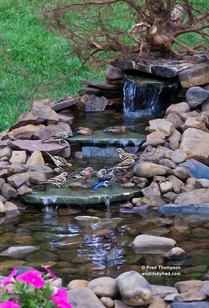FINCHES AND JUVENILE BLUE BIRD BATHING