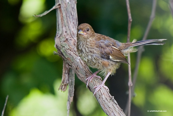 This bird was identified by Dale Warner as a Juvenile Eastern Towhee.