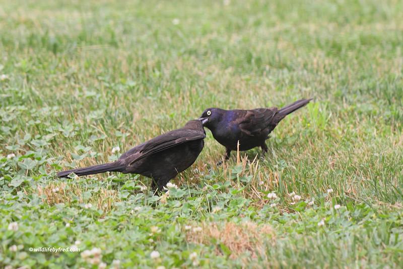 Juvenile Common Grackle and parent