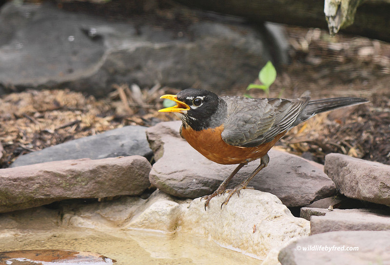 American Robin, I have neglected taking photos of this common bird for to long. I took a lot of photos of the Robin in the past two days and will be posting more as time allows.