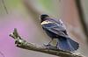 JUVENILE RED WINGED BLACKBIRD