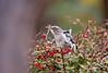 NORTHERN MOCKINGBIRD EATING BERRIES