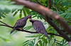 DOVES (COURTING)