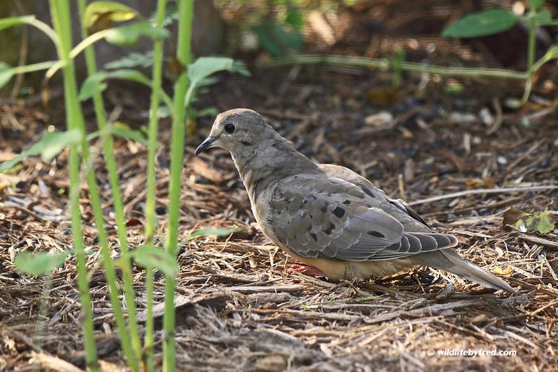Juvenile Dove