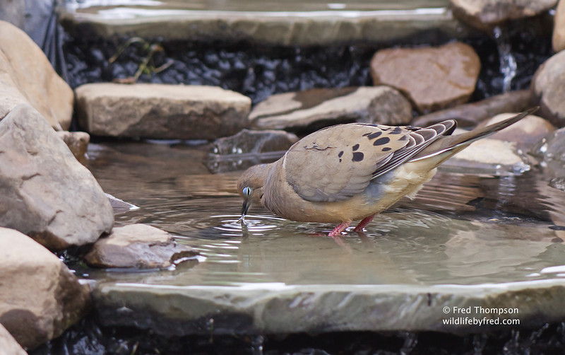 Dove getting a drink from my new bird bath
